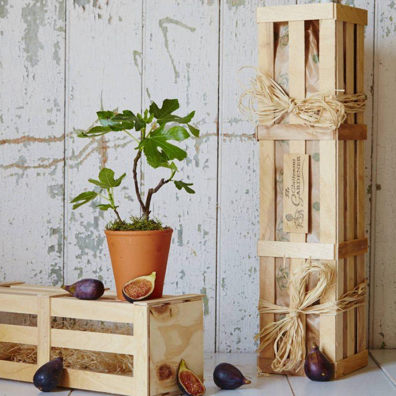 Fig tree gift for family garden
