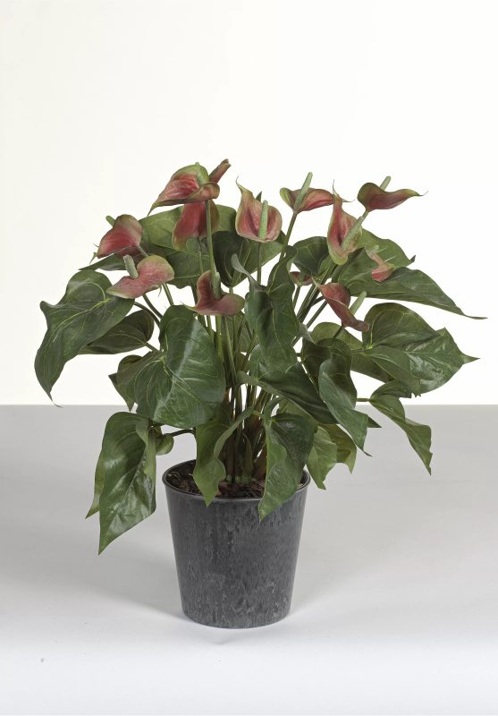Anthurium Plant Gift Ideas