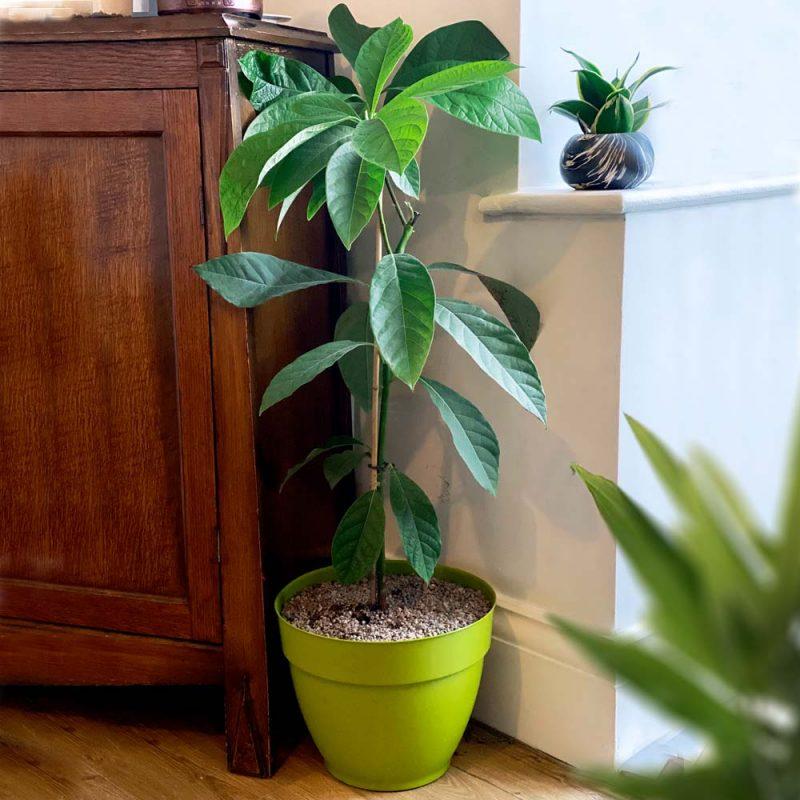 Avocado plant gift ideas
