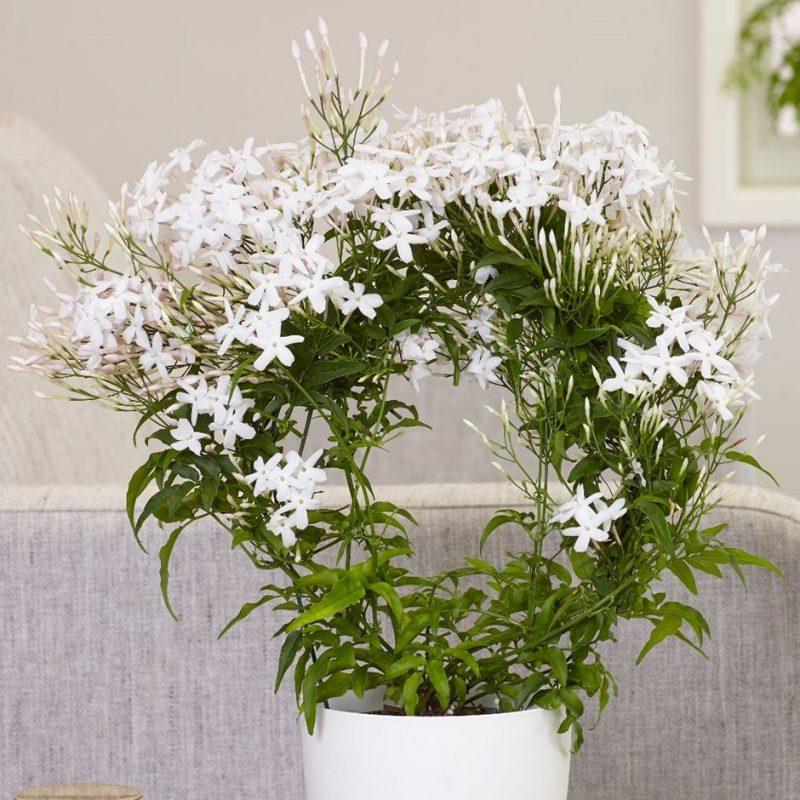 Chinese Jasmine Flowering indoor plant gift ideas