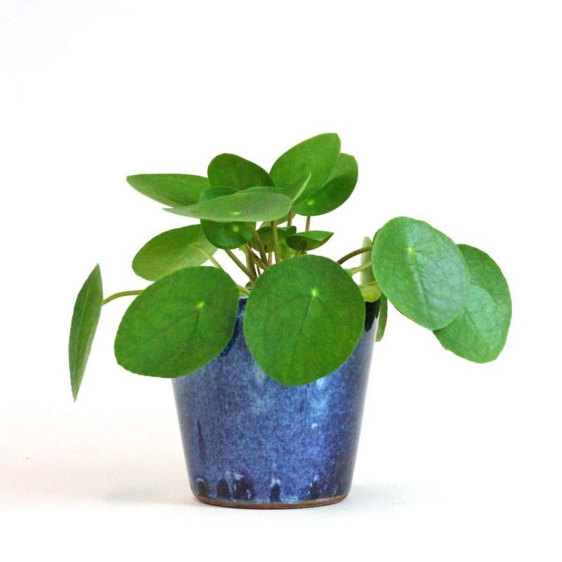 Chinese Money Plant Bloombox Club Plant Gift Ideas