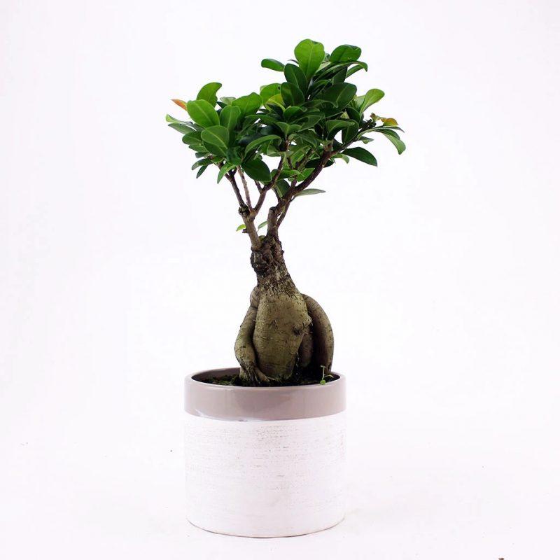 Ficus Ginseng Bonsai Plant Gift Ideas