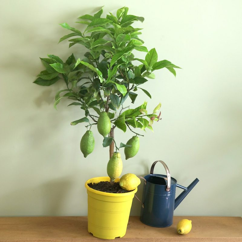Lemon Tree Patio and Conservatory Plant Gift Ideas