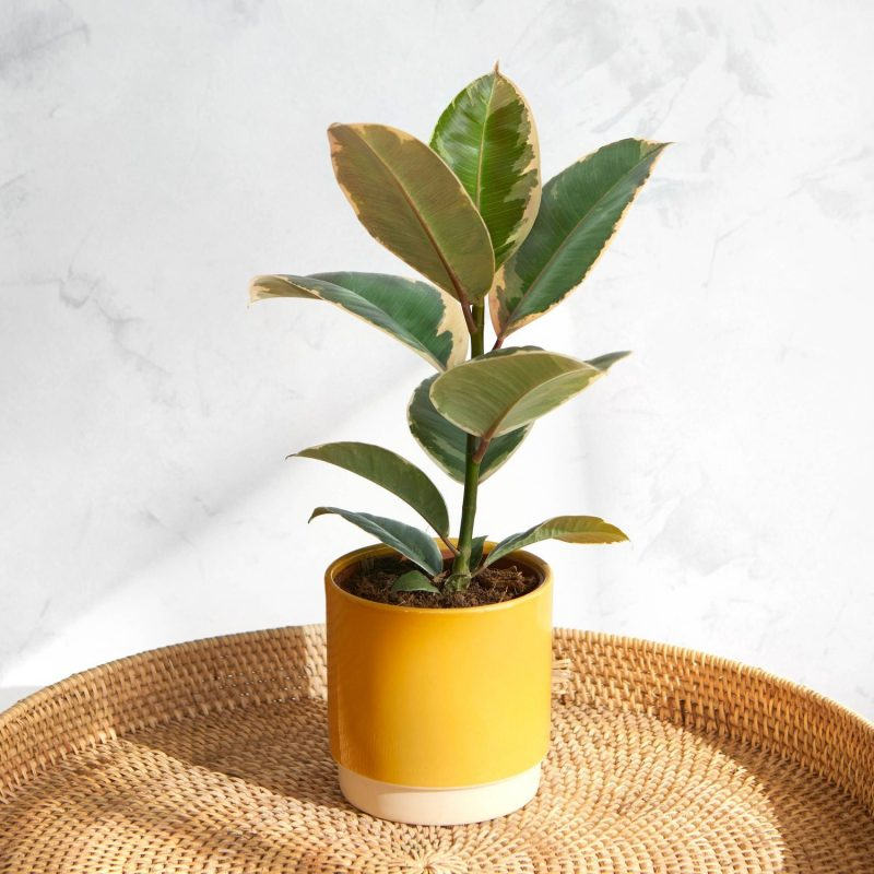 Rubber Plant from Bloom & Wild
