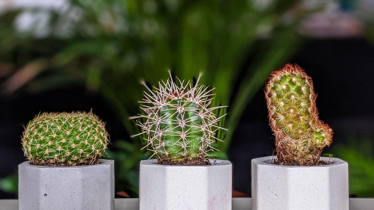 Set of Three Cacti In Concrete Pots