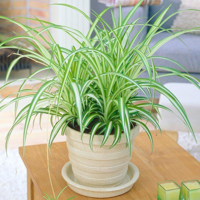 Spiky Spider Plant Gift Ideas