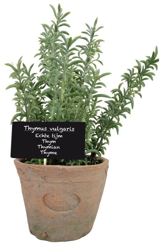 Thyme Plant in Round Planter – Wayfair