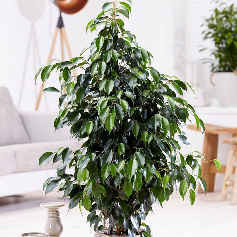 Ficus Benjamina Weeping Fig