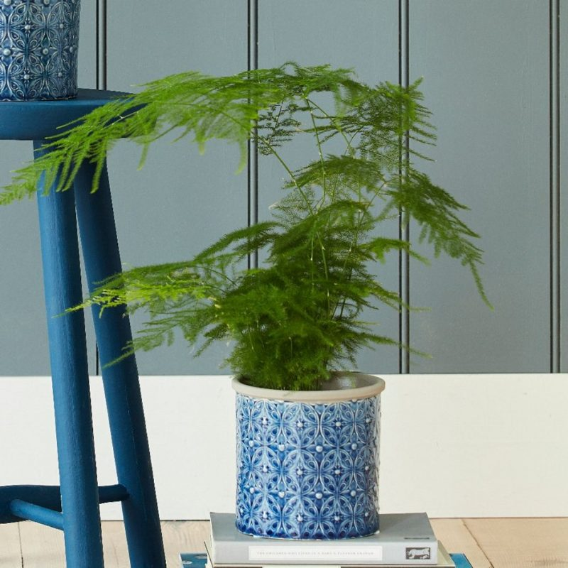 Asparagus Fern & Pot