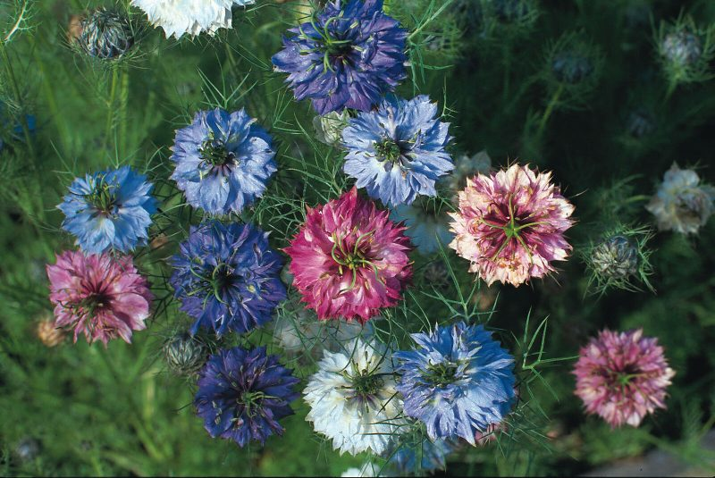 Love in a mist seeds cheap valentine's day gift idea