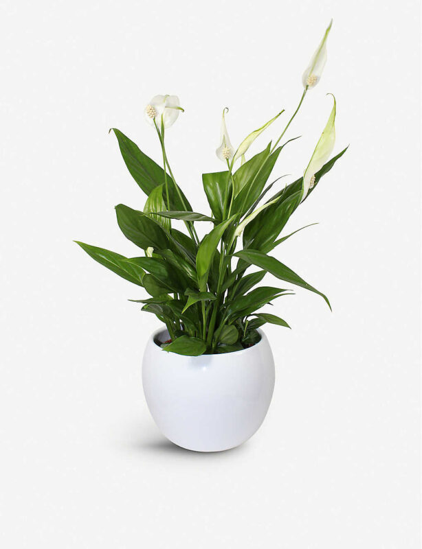 Potted peace lily gift