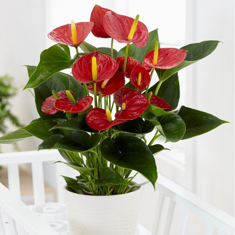 Red Champion Flowering Plant
